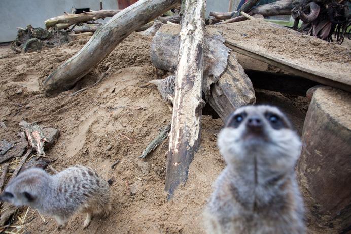 Meerkat at Bunny Park