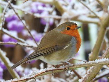 Picture 3 Robin in wintry garden by Ian Strachan