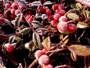 Picture 5 Frosty berries by Evgeniya Mamedova