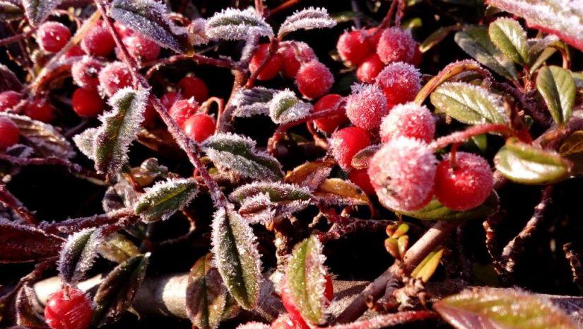 Picture 5 Frosty berries by Evgeniya Mamedova