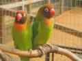Black-masked-Lovebird