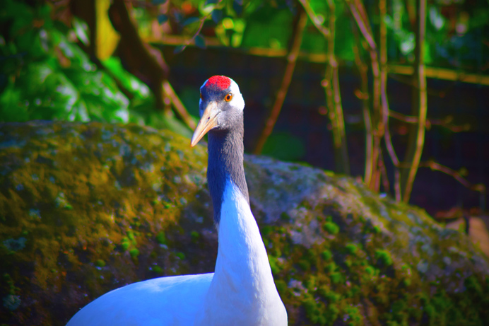 Red-crowned-crane