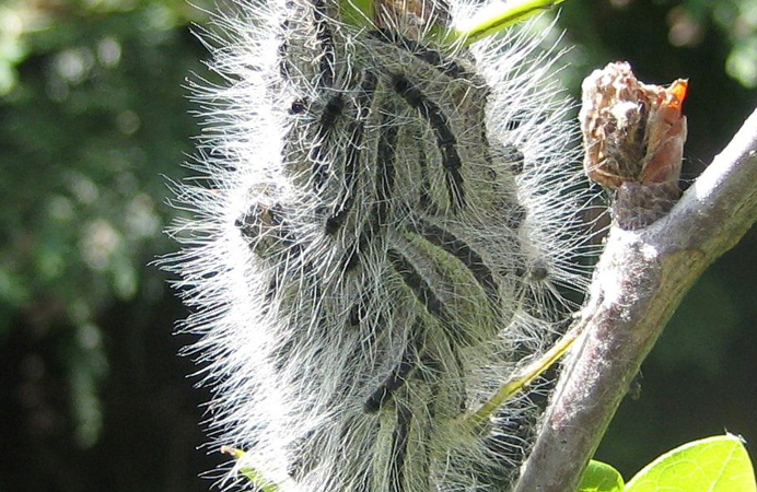 OPM caterpillars in a cluster