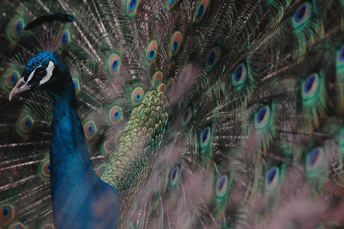 Peacock - one of the winners of 2015 Bunny Park photo contest. By Chris Slow