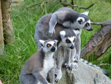 Lemurs at Hanwell Zoo