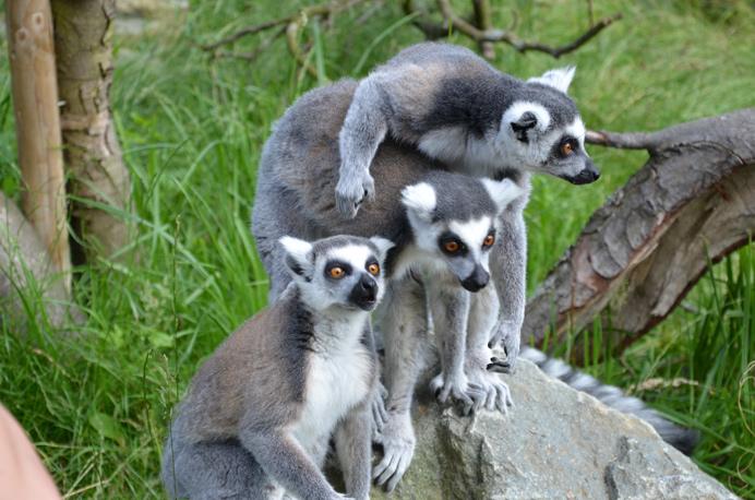 Lemurs at Hanwell Zoo
