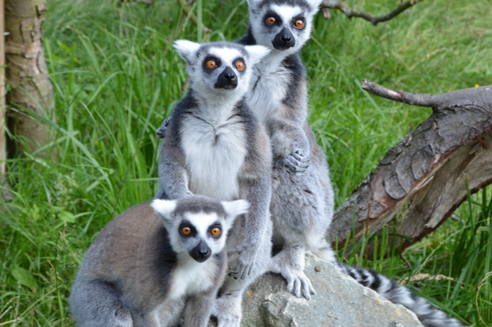 Lemurs at Hanwell Zoo have new names after our competition