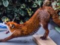 8.An awaking, stretching fox in an Acton garden, by Sheryl Hall