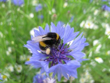 Liz Scarff - Bee on a cornflower at Gunnersbury Park