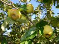 Horsenden Farm orchard - apples