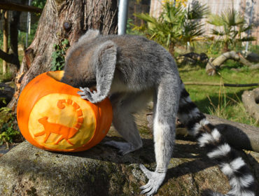 Meerkat enjoying Halloween pumpkin