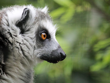 Lemur at Hanwell Zoo